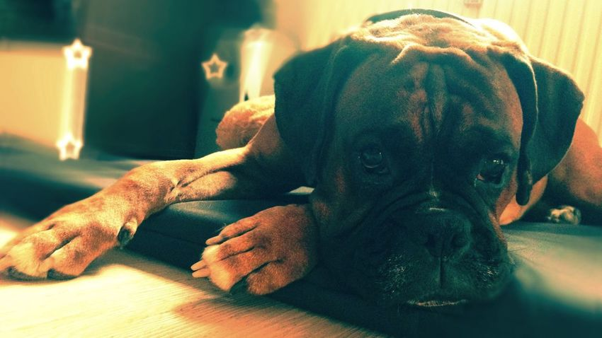 I Love My Dog e cooler than your kids] Boxer Dogs Boxer Dog