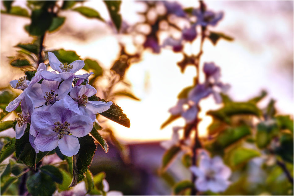 apple blossoms at sunset Affinity Photo Apple Blossom Beauty In Nature Blooming Blooming Flowers Close-up Evening Evening Light Evening Sky Flower Flower Head Fragility Growth Nature No People Outdoors Plant Sunset Tonemapping