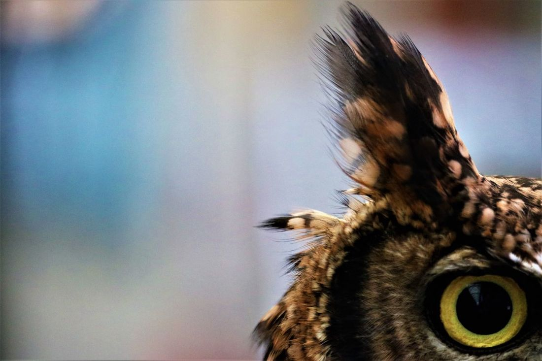 Indian Eagle Owl - Eye Alertness Animal Themes Animal Wildlife Animals In The Wild Beauty In Nature Close-up Day Ear Eye Feather  Feathers Focus On Foreground Indianeagle Looking At Camera Nature No People One Animal Outdoors Owl Owls Staring Wide Eyed ベンガルワシミミズク EyeEm Selects Neon Life Pet Portraits Paint The Town Yellow Perspectives On Nature