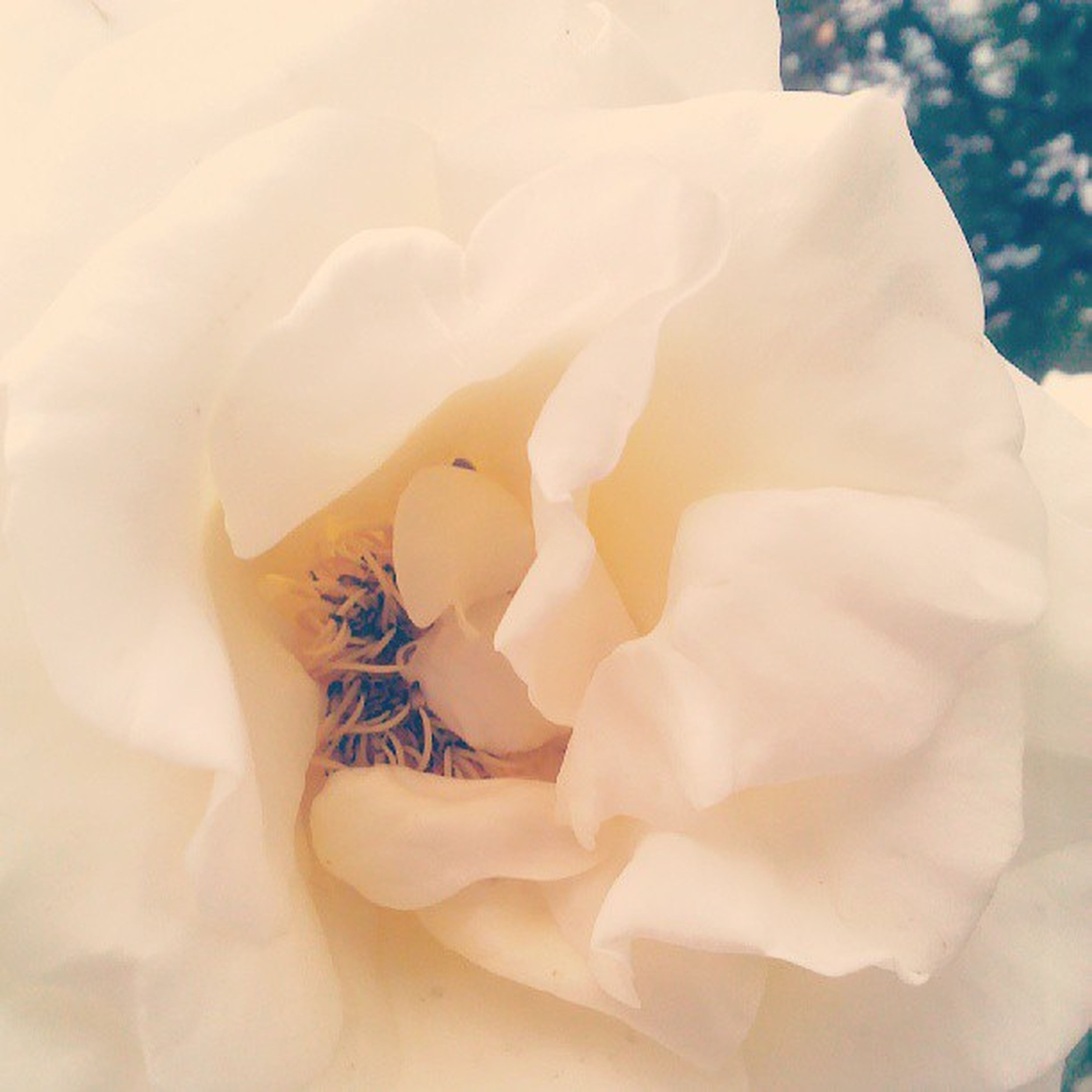 flower, petal, flower head, fragility, freshness, beauty in nature, rose - flower, single flower, close-up, growth, blooming, nature, in bloom, white color, softness, natural pattern, plant, blossom, macro, no people