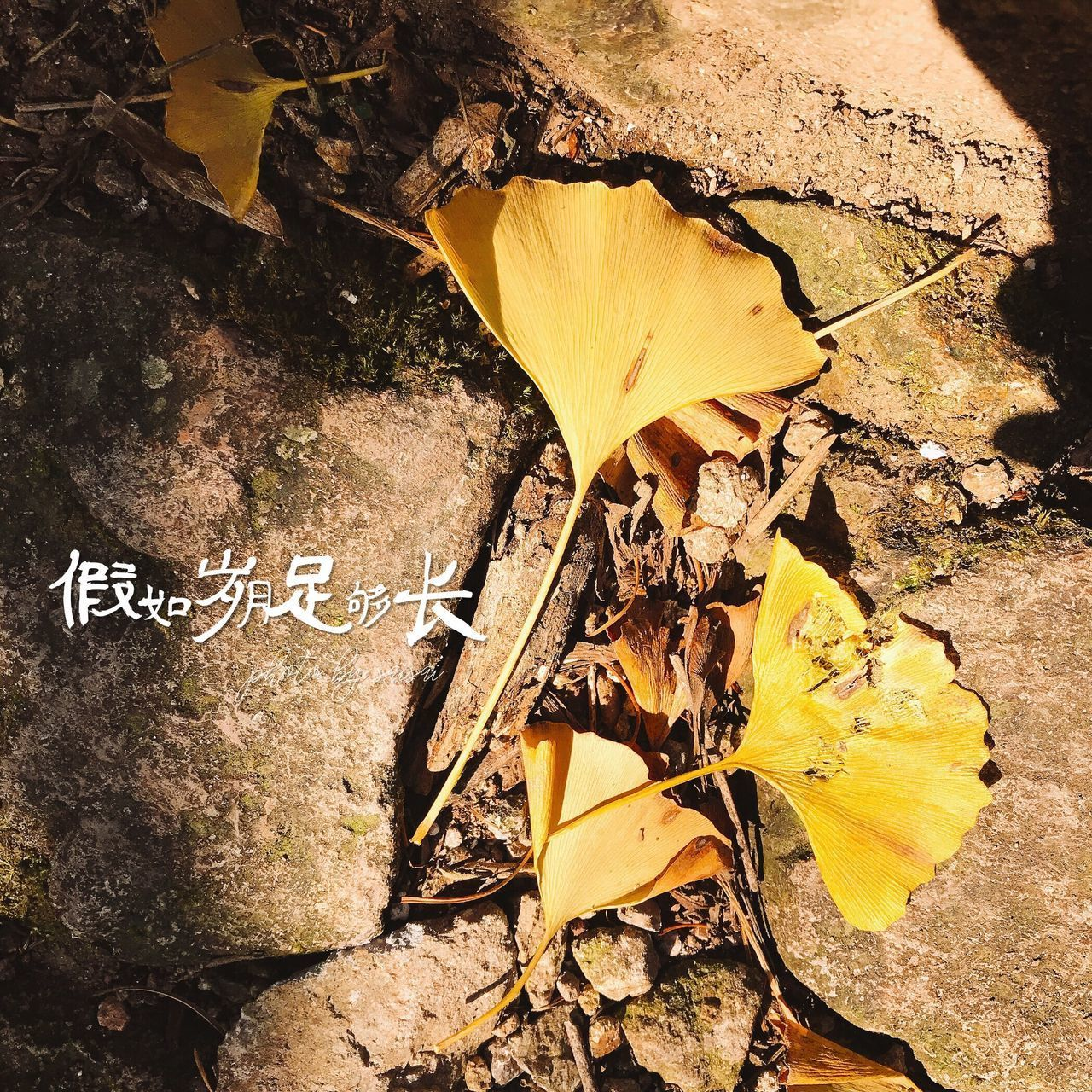 leaf, autumn, change, dry, nature, day, outdoors, yellow, high angle view, no people, beauty in nature, close-up, maple leaf, maple, fragility