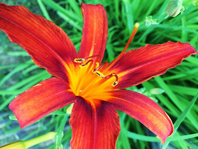 Backyard lily. Flower