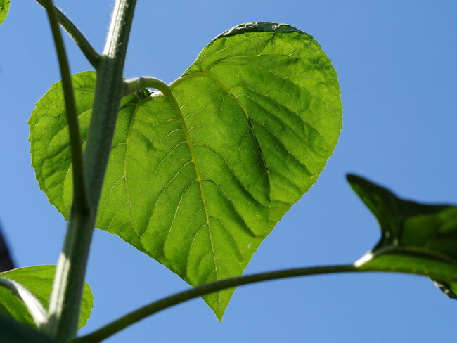 Beautiful Nature Botany Fragility Green And Blue Heart Leaf Leaves Low Angle View Macro Nature No People Outdoors Patterns In Nature Perspective Sky Sunflower Leaf Vibrant Color Color Palette Close Up Close-up Taking Photos Lovely Plant Art Is Everywhere