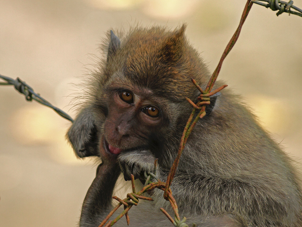 Close-Up Portrait Of Monkey On Rusty Barbed Wire