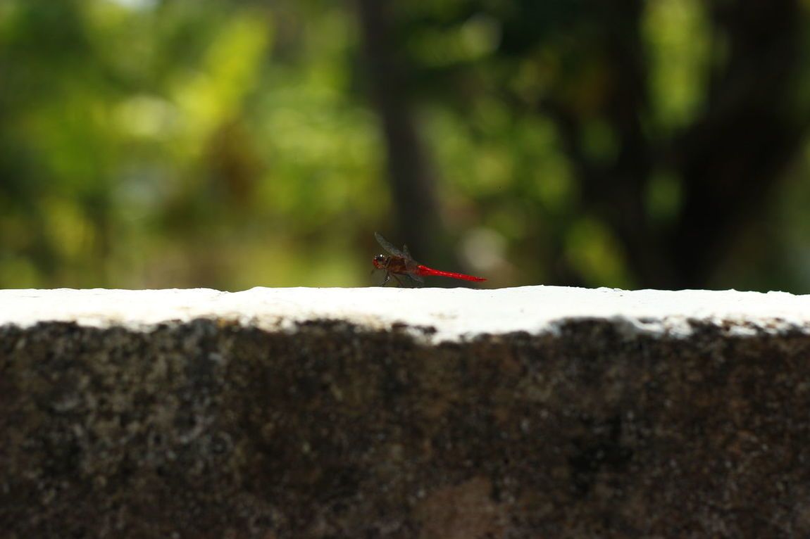 Dragonfly Redtail Nature Backtonature 50mm Primeshots Beautiful Nature Insect Asiatic Blood Tail Swift Alight