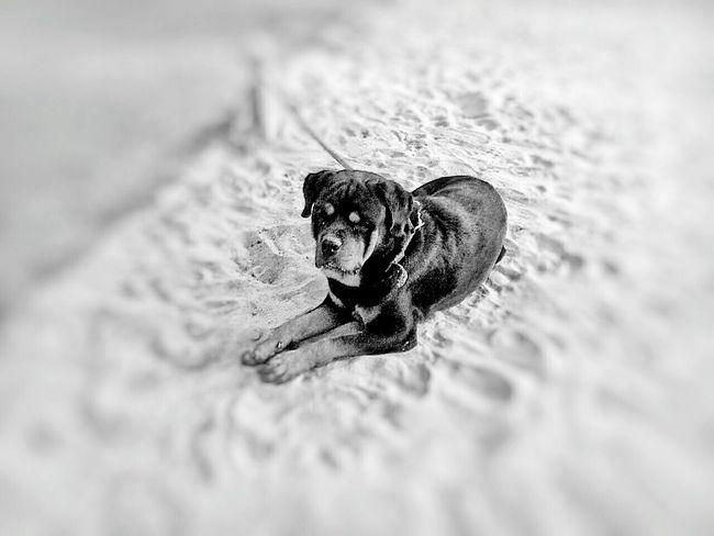 Pets Corner Black And White Bnw_society Bnw_friday_eyeemchallenge EyeEm Bnw B&W Portrait Dogs Summer Dogs { My Lovely RottWeiler } Rottweiler..... Monster before attacking....