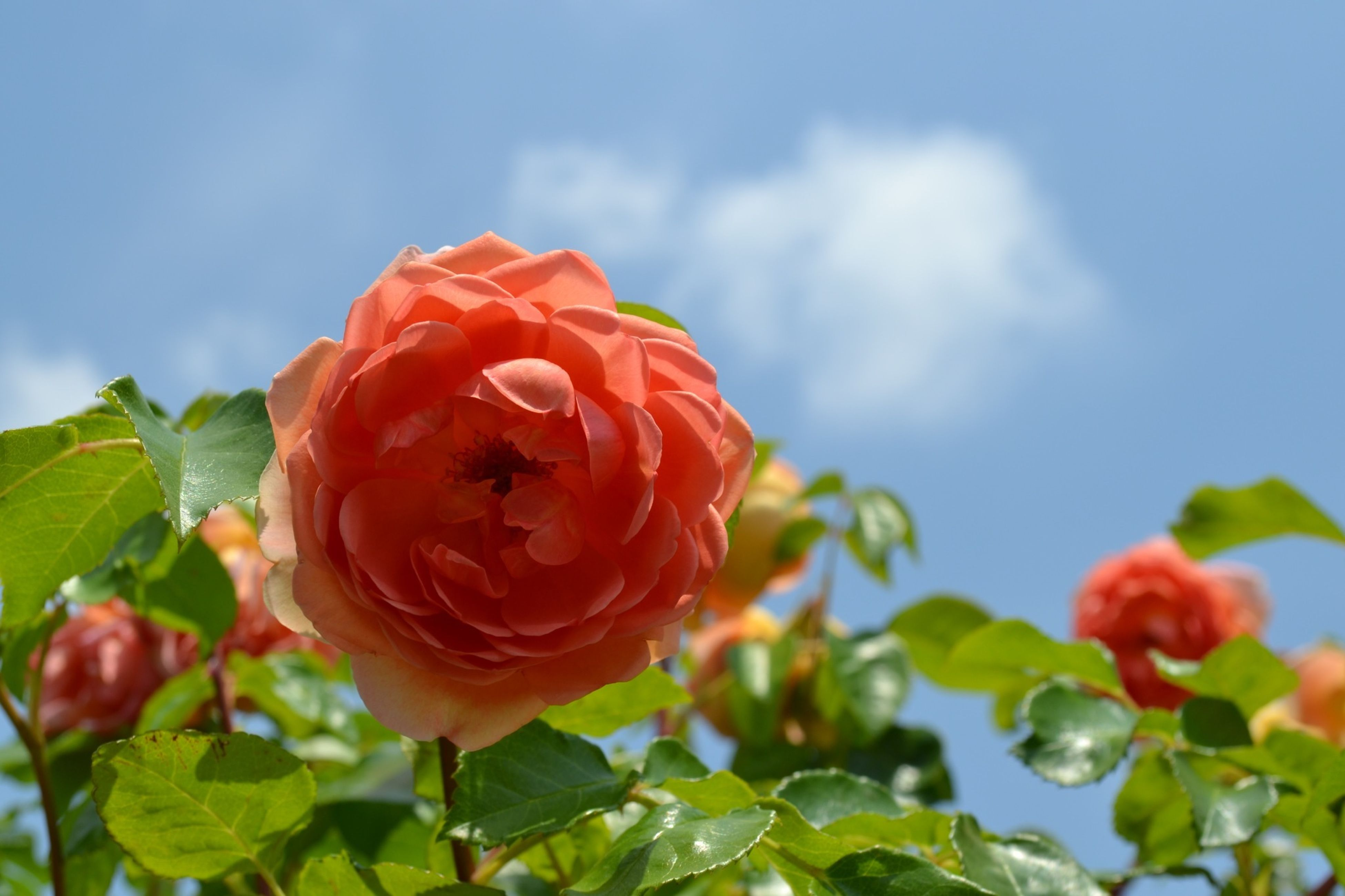 flower, freshness, petal, flower head, fragility, rose - flower, beauty in nature, growth, blooming, close-up, nature, leaf, focus on foreground, plant, sky, in bloom, rose, red, single flower, day