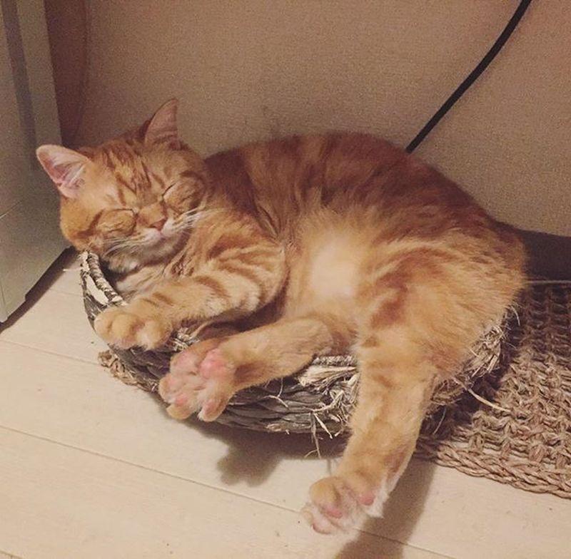 Cat Neko ねこ 猫 ねこ Cats スコティッシュフォールド Scottishfold 茶トラ ロロ Lolo コケティッシュフォールド コケティッシュホールド かご猫 ロロは気にいってるけど…ボロボロだし…そろそろ処遇を考えねば😅💦