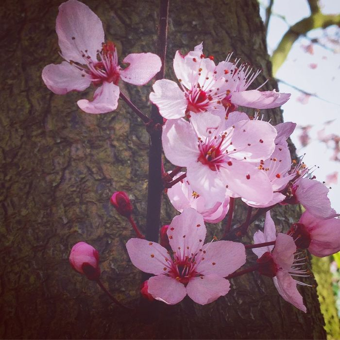 Flower Trees Nature EyeEm Nature Lover Cherry Blossoms Flower Collection Spring Flowers Beautiful Pastel The First Fower