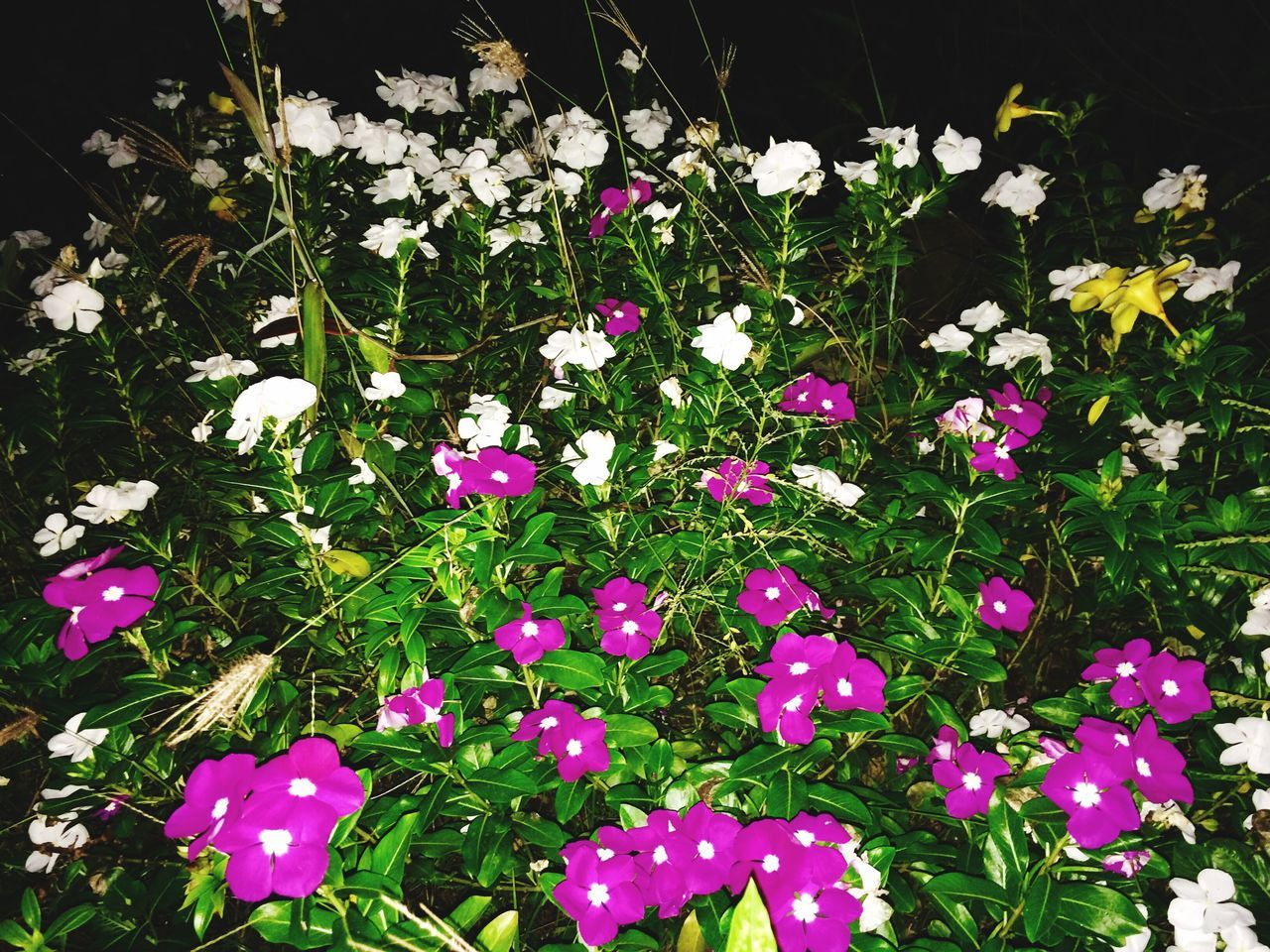Shavam nari poovu 🌺 (Vinca) in both colours vVincaVVinca FlowerskKeralaIIndiakKumarakomkKottayamfFlowerfFlowersCColorsbBeauty In NatureNNatureGGrowthfFragilitynNo PeopleFFreshnessPPlantpPetalbBloomingoOutdoorsdDayfFlower HeadbBloom