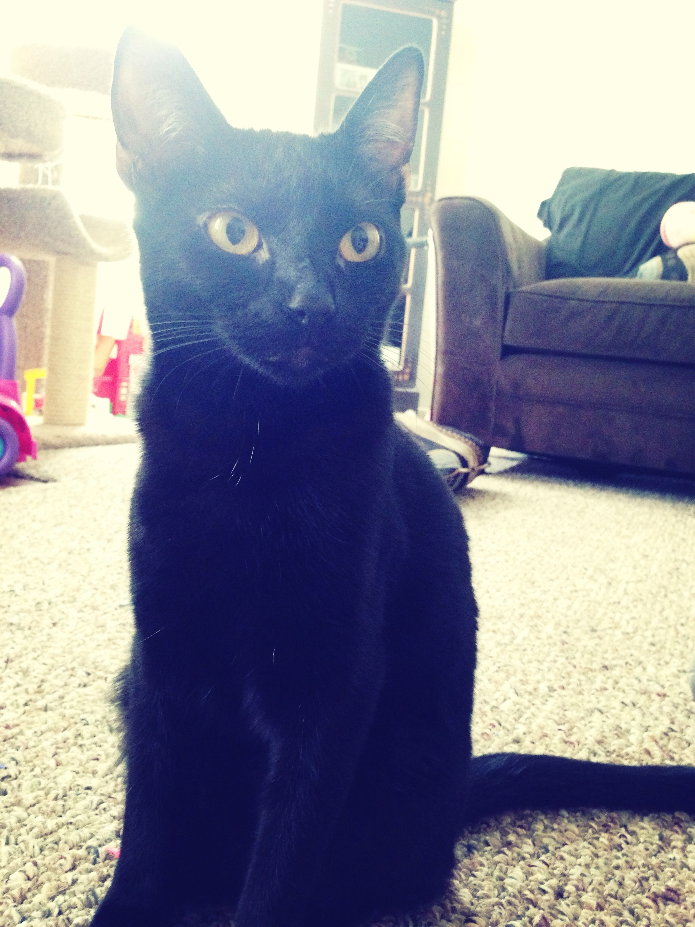 domestic animals, pets, one animal, animal themes, mammal, domestic cat, cat, feline, portrait, indoors, looking at camera, sitting, whisker, relaxation, black color, home interior, staring, close-up, front view