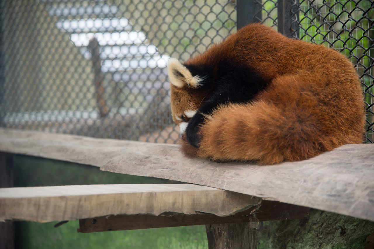 Animal Themes Animals In The Wild Close-up Day Focus On Foreground Mammal No People One Animal Outdoors Panda - Animal Red Panda
