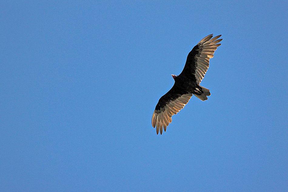 Beautiful stock photos of eagle, Animal Themes, Animal Wildlife, Animal Wing, Animals In The Wild