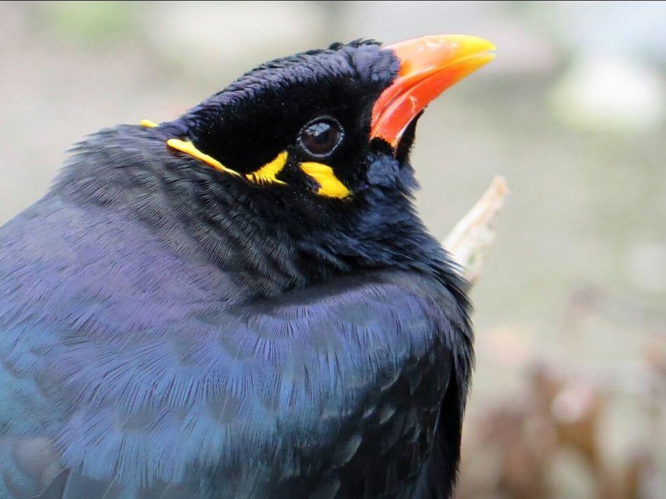 Beo Bird Photography Birds_collection Beautiful Birds Macro PhotographyBirdLovers