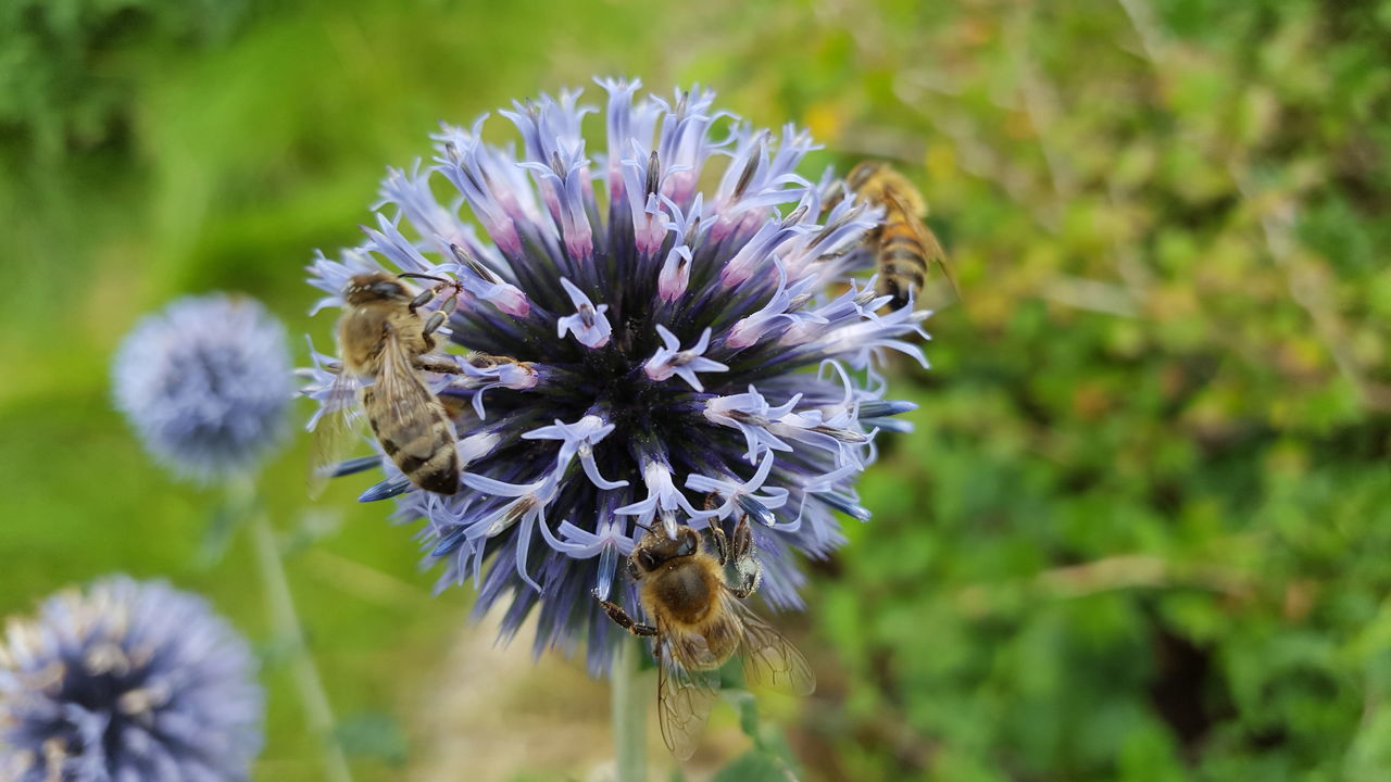 Bees Purple Flower Bee Fragility Flower Head Nature Growth Plant Wildflower Beauty In Nature Outdoors Thistle No People Close-up Freshness Day