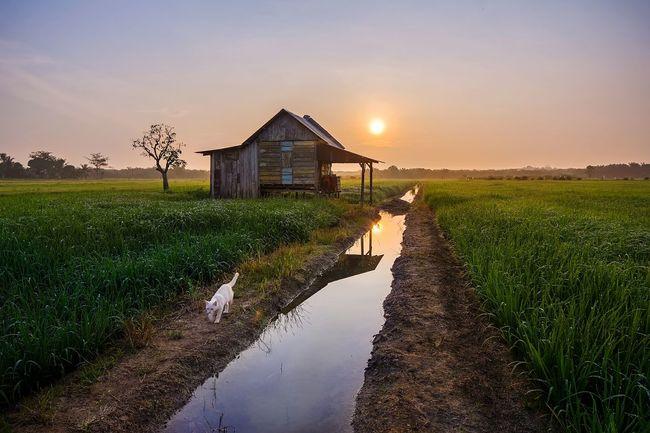 Golden sunrise The Great Outdoors - 2016 EyeEm Awards Landscape Golden Hour Sunrise Cat Nature Animal Estate Plantation Asdgraphy Wood Shack