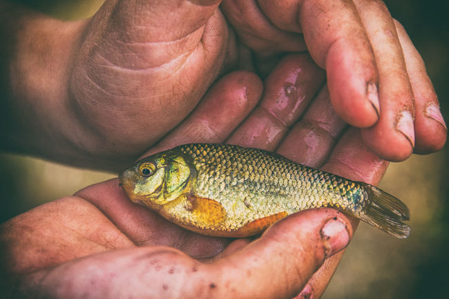 Golden carp in the hands of a child Animals In The Wild Carp Child Day Fish Fishing Golden Carp Hands Human Body Part Human Finger Lifestyles Natural One Person Outdoors Personal Perspective Real People Russia