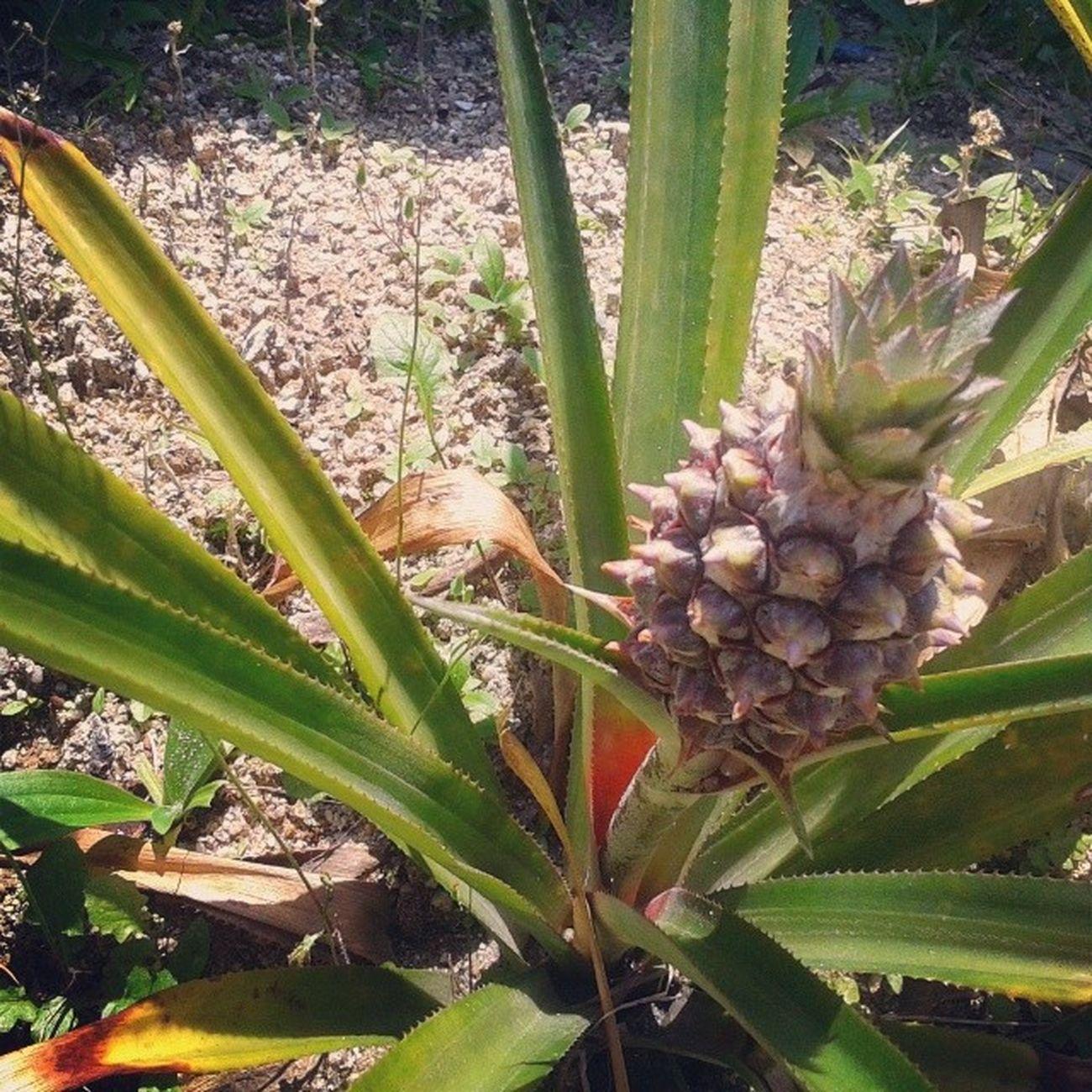 Abacaxi Boatarde Quintafeira Plantado na areia casa quintal fruta ((: abacsxi plantado na areia de casa de frutos rsrsrs