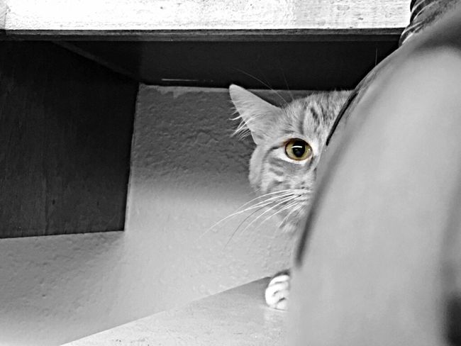 Cat Lovers Staring Domestic Cat Whisker Close-up Looking At Camera Curiosity Taking Photos Selective Focus Blackandwhite IPhoneography EyeEm Furbaby Peekaboo Curious Curious Cat Hiding Peeking Feline Cat Catsofinstagram Taking Pictures Cats Of EyeEm Pets Of Eyeem Petsofinstagram