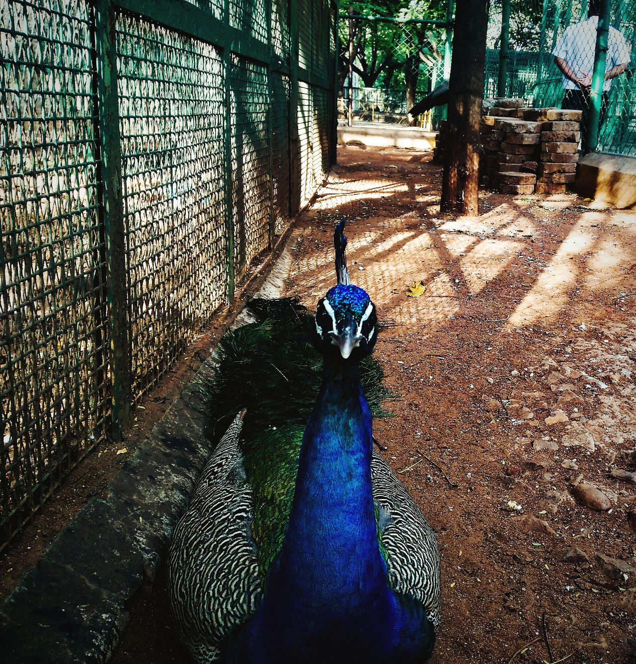 Prison Door Caged Caged Birds Caged Beauty Caged Freedom Peacock Blue Peacock Peacock Feather