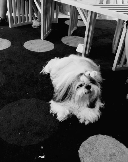 A 10 year old shih tzu :) Photography Blackandwhite Photography Visualstoryteller Visualstorytelling Blackandwhite Dogs Doglover Dogsofinstagram Dogs Of EyeEm Petphotography Dog Portrait