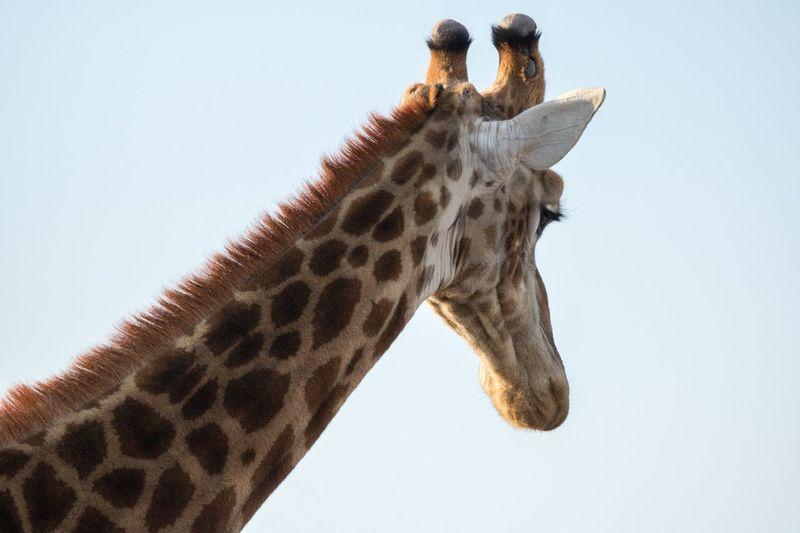 The Week On EyeEm EyeEm Selects Giraffe Wildlife No People Close-up Nature 760D