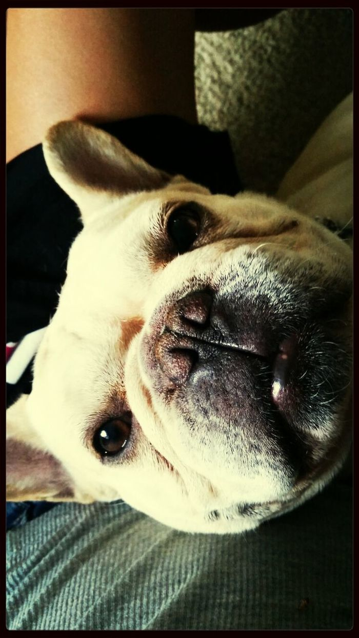 Sirstubby Frenchbulldogs Lips Oldface #pandalove