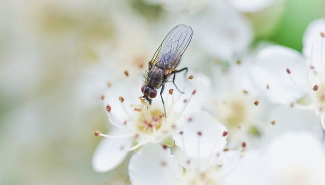 Fly Fly Fly Insect Insect Photography Bug On A Flower White White Flower White Flowers Garden Garden Photography Flower Collection Flower Macro Blossom Macro_collection Macro Photography Macro Nature Nature Nature_collection Nature Photography Nature On Your Doorstep Naturelovers Insects Collection