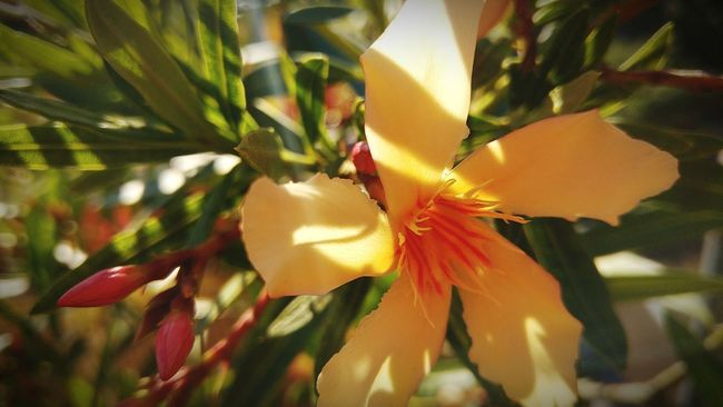 Oleander Oleander Flowers Yellow Yellow Flowers Bud Blossom Nature Nature_collection Nature Photography Against The Sun On My Balcony EyeEm Nature Lover Check This Out Ladyphotographerofthemonth Beauty In Nature Flowers Flower Flowerporn Flower Collection Flower Photography Greenery Showcase July