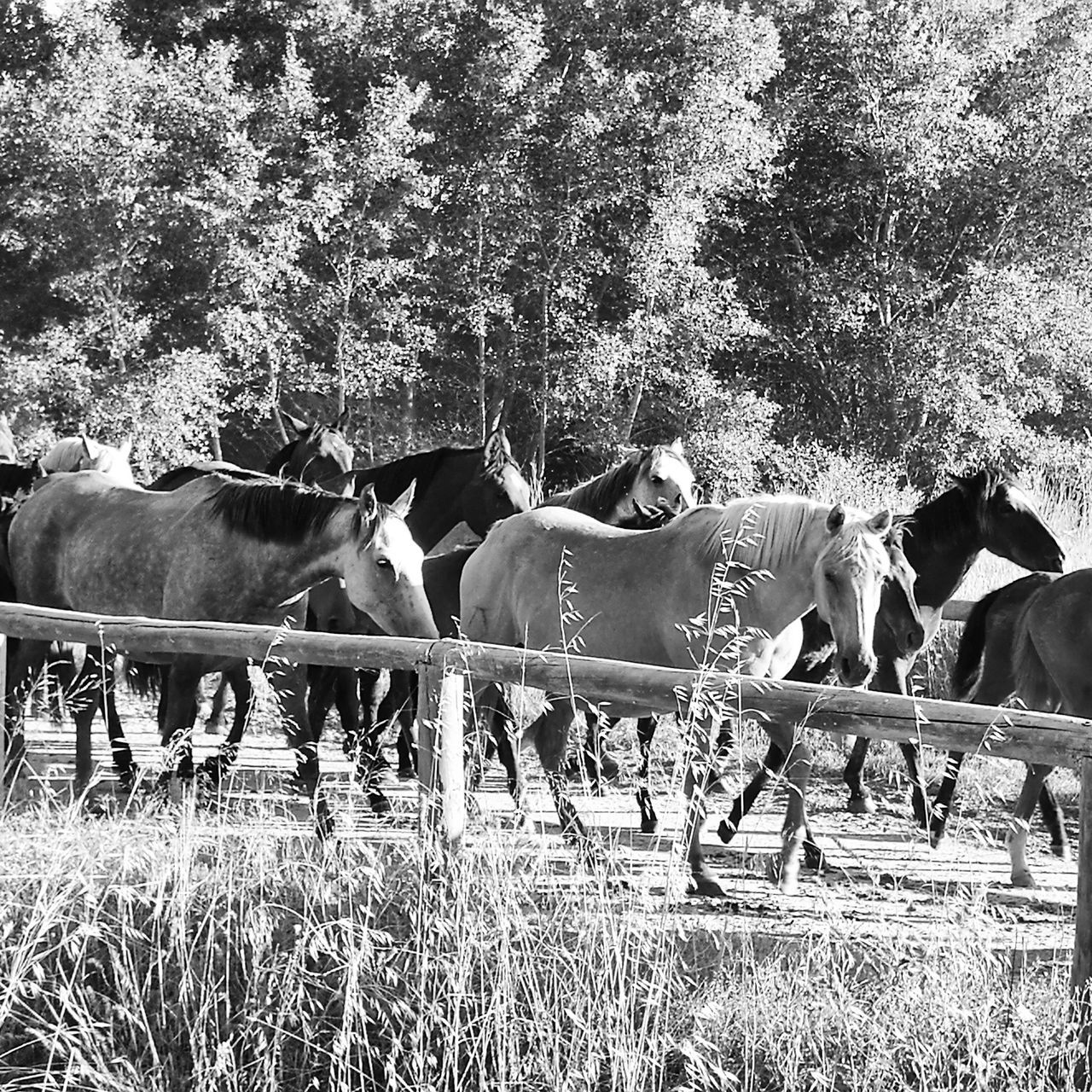 domestic animals, mammal, animal themes, livestock, horse, field, cow, tree, cattle, grass, outdoors, nature, day, growth, standing, no people