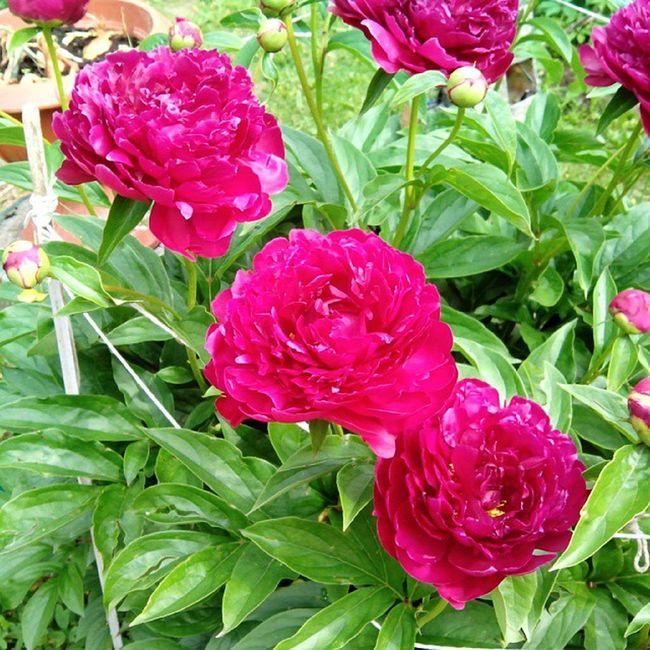 #peony #peon #flower #flowers #цветок #цветы #пион Flowers Flower Peony  2013 цветок  цветы пион Peon