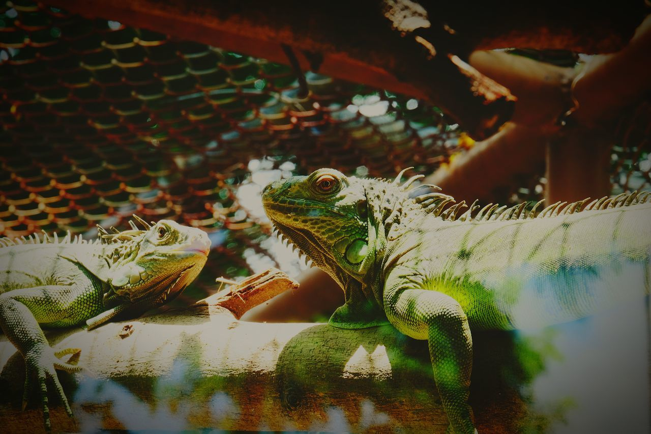 Animals In The Wild Animal Wildlife Animal Themes Lizard Iguana Nature Outdoors Close-up Beauty In Nature