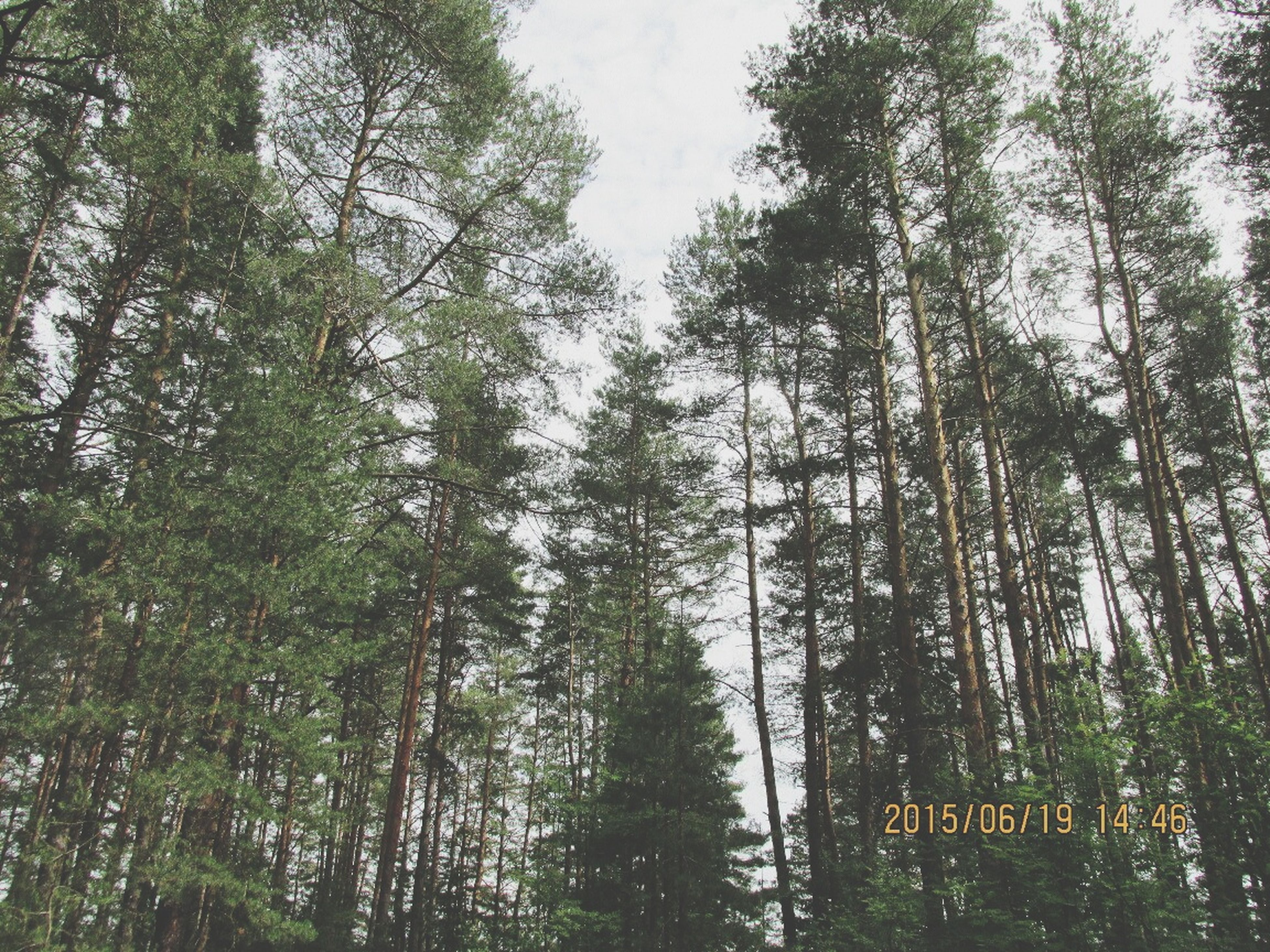 tree, growth, low angle view, forest, tree trunk, tranquility, nature, branch, green color, sky, tranquil scene, woodland, day, beauty in nature, outdoors, tall - high, no people, scenics, lush foliage, non-urban scene
