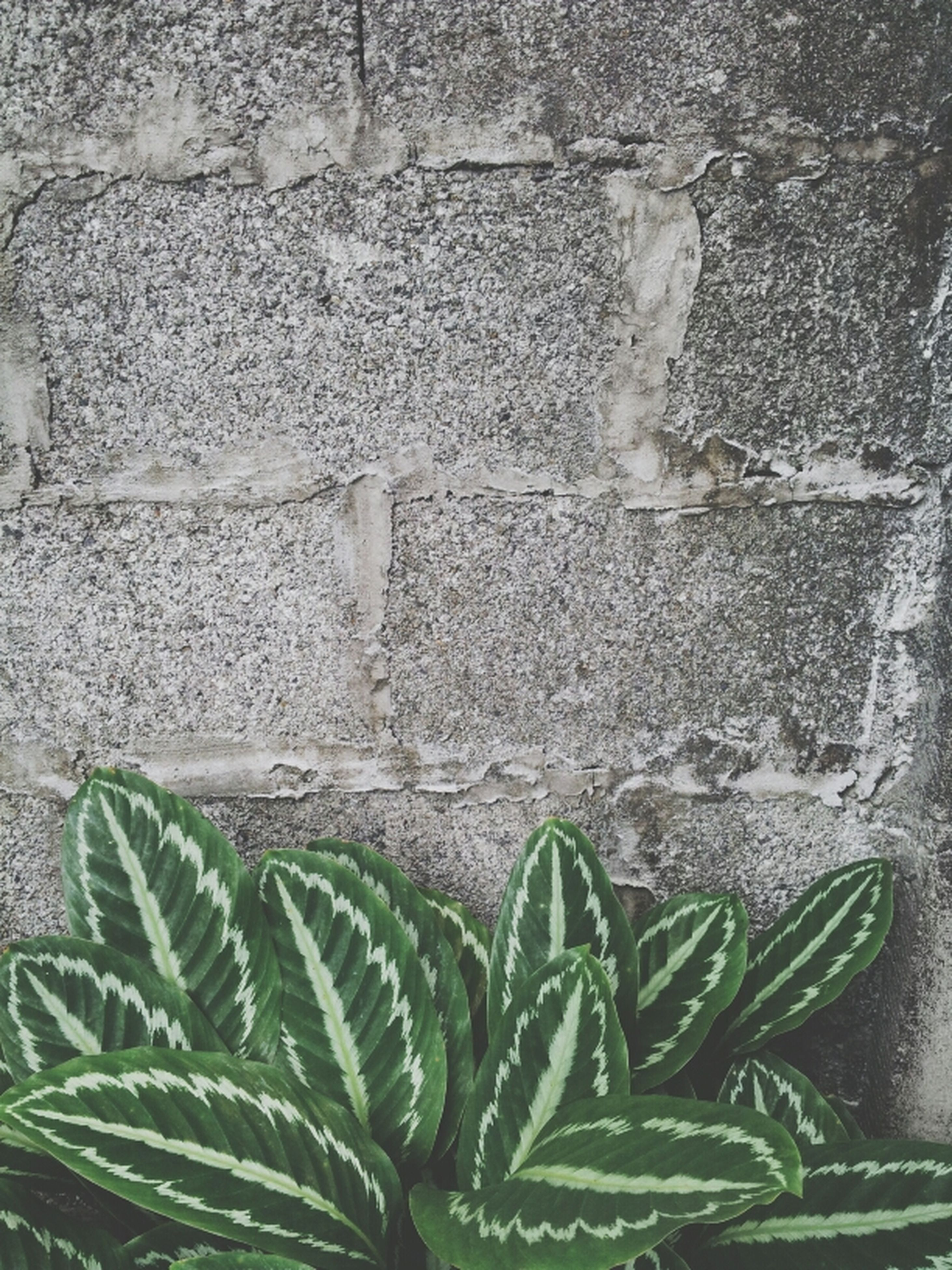 leaf, green color, plant, growth, wall - building feature, close-up, textured, nature, outdoors, growing, day, high angle view, pattern, no people, brick wall, ivy, built structure, green, stone wall, architecture