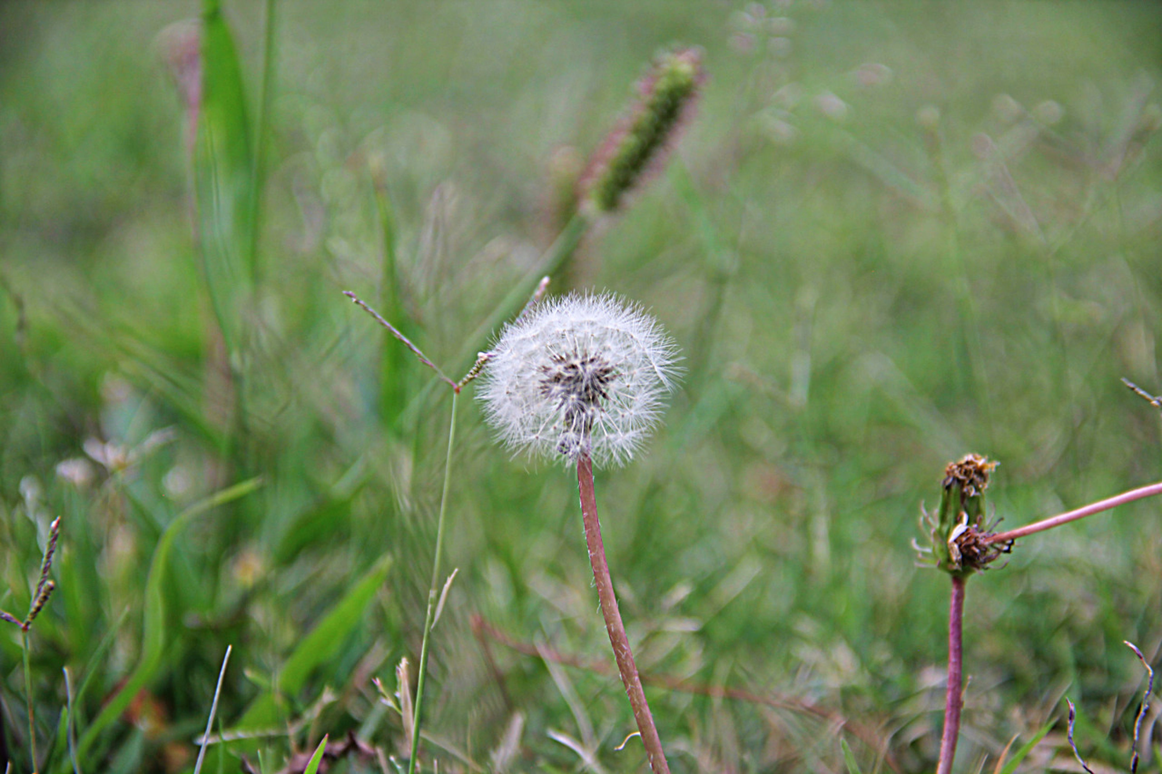 flower, dandelion, fragility, growth, freshness, focus on foreground, flower head, close-up, beauty in nature, plant, nature, stem, wildflower, field, single flower, selective focus, uncultivated, day, grass, outdoors
