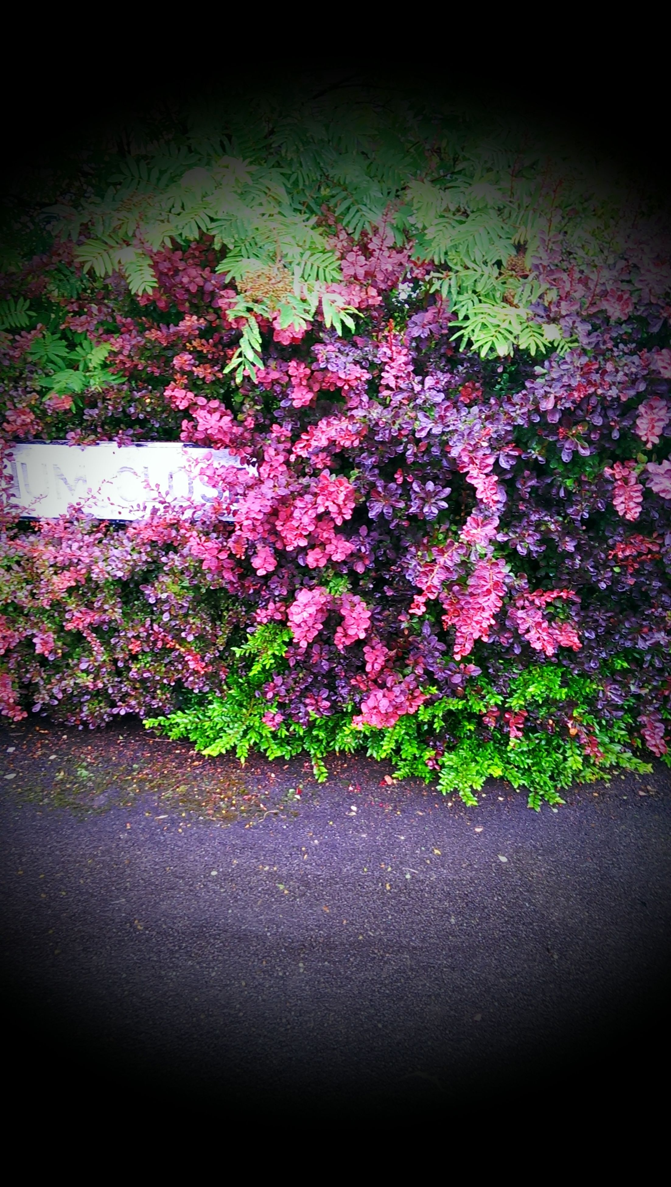 flower, freshness, fragility, petal, growth, pink color, beauty in nature, blooming, plant, nature, in bloom, flower head, blossom, high angle view, botany, springtime, outdoors, purple, day, no people