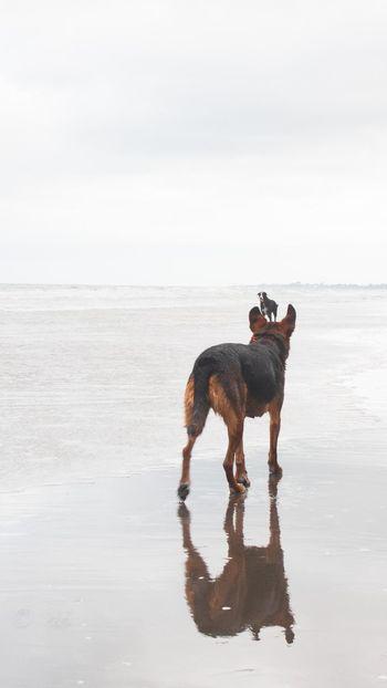 EyeEm Ready   Beach Beardie Dog Full Length Huntaway New Zealand Pets Reflection Sea Sky