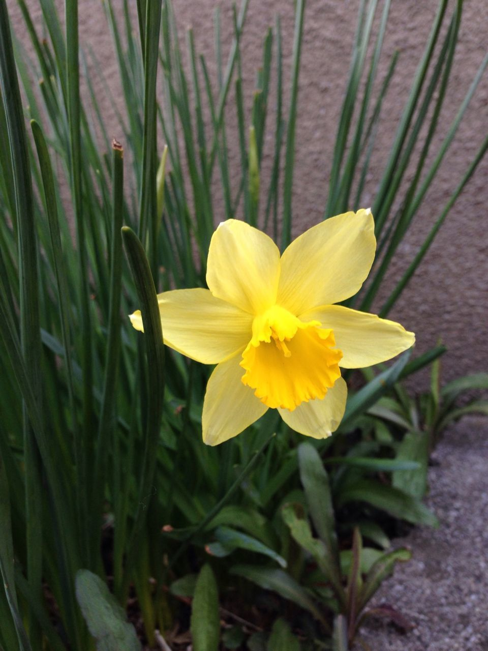 flower, yellow, petal, nature, beauty in nature, fragility, flower head, growth, freshness, plant, outdoors, day, close-up, green color, no people, blooming, grass, leaf, crocus