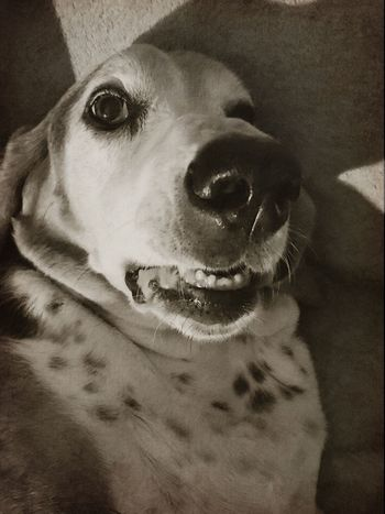 A smiling hound One Animal Domestic Animals Pets Dog Close-up No People Indoors  Iphonephotography Pampered Pooch Ilovemybassethound Bassethound Moments Sniffandbarkens Snapwagdogs Looking At Camera Portrait Expressions Bassethoundadventures Ilovemybassethounds Lying Down Bassethoundsare Best