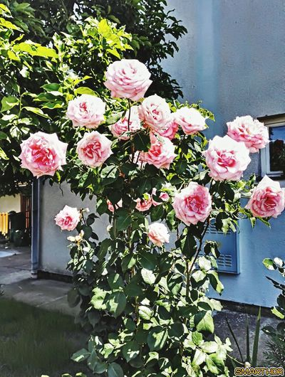 Flower Roses Roses🌹 Beauty In Nature Lovely :) Roses, Flowers, Nature, Garden, Bouquet, Love, Rose Pink Pink Color Green Leaves Pink And Green