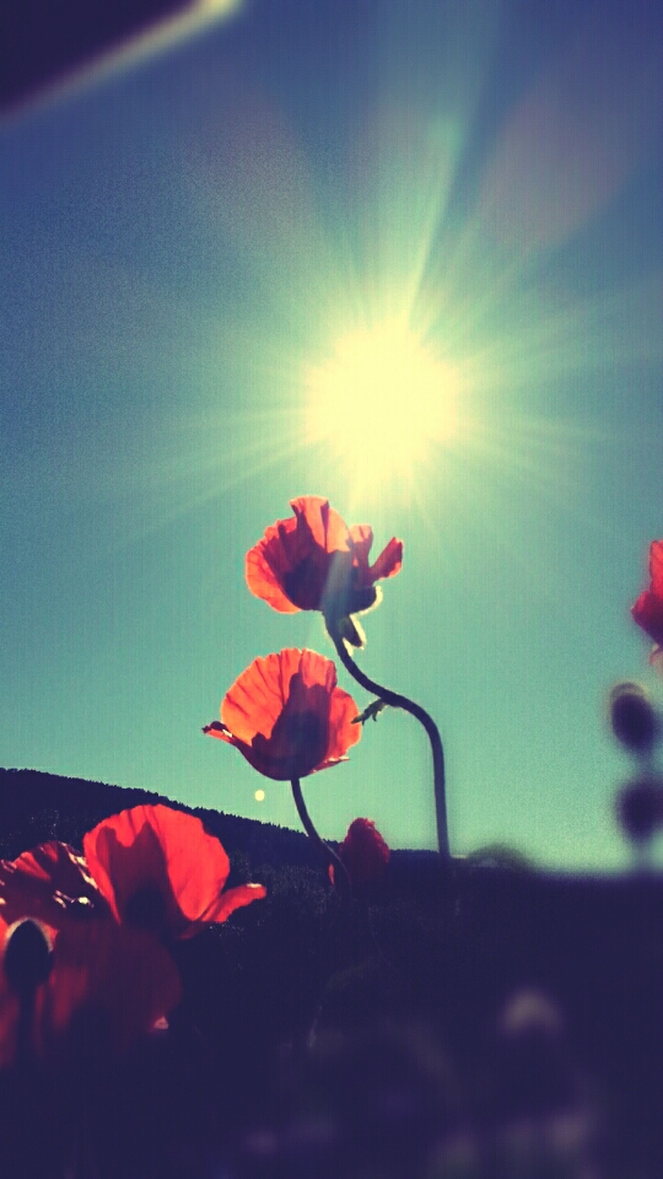 flower, petal, fragility, sun, freshness, beauty in nature, growth, sunlight, sunbeam, nature, flower head, sky, plant, blooming, stem, lens flare, low angle view, leaf, close-up, focus on foreground