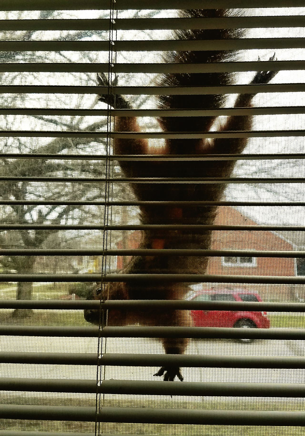 So there's this Neighbor that Runs around looking for Deeznutz and when she cant find them she turns into the neighborhood PeepingTom PrivacyInvaders Hellosquirrel Outsiders  WindowClimber MichiganAnimals Wildlife