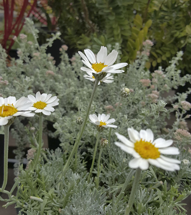 Blooming Focus On Foreground In Bloom Moroccan Daisy No People Pyrethropsis Hosmariense White Flower Yellow Centered Flowers