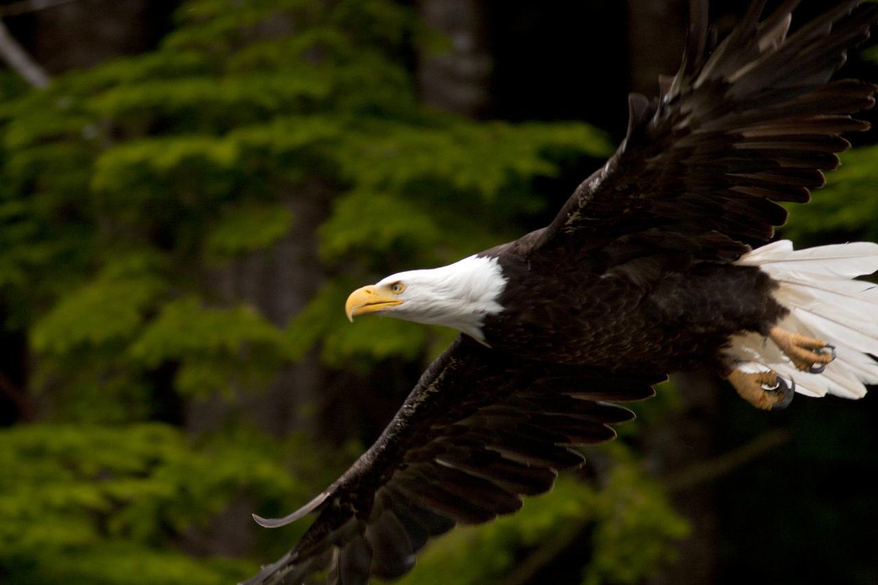 Beautiful stock photos of bald eagle, Animal Themes, Animal Wildlife, Animals In The Wild, Bald Eagle
