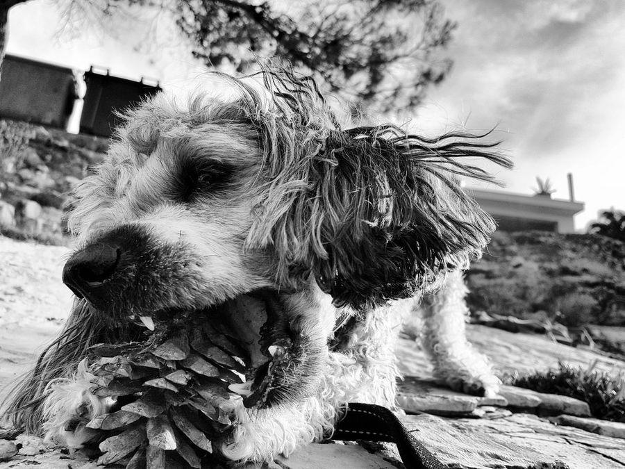 Dog Cute Dog  Peekapoo Black And White Croatia šolta Monochrome Photography