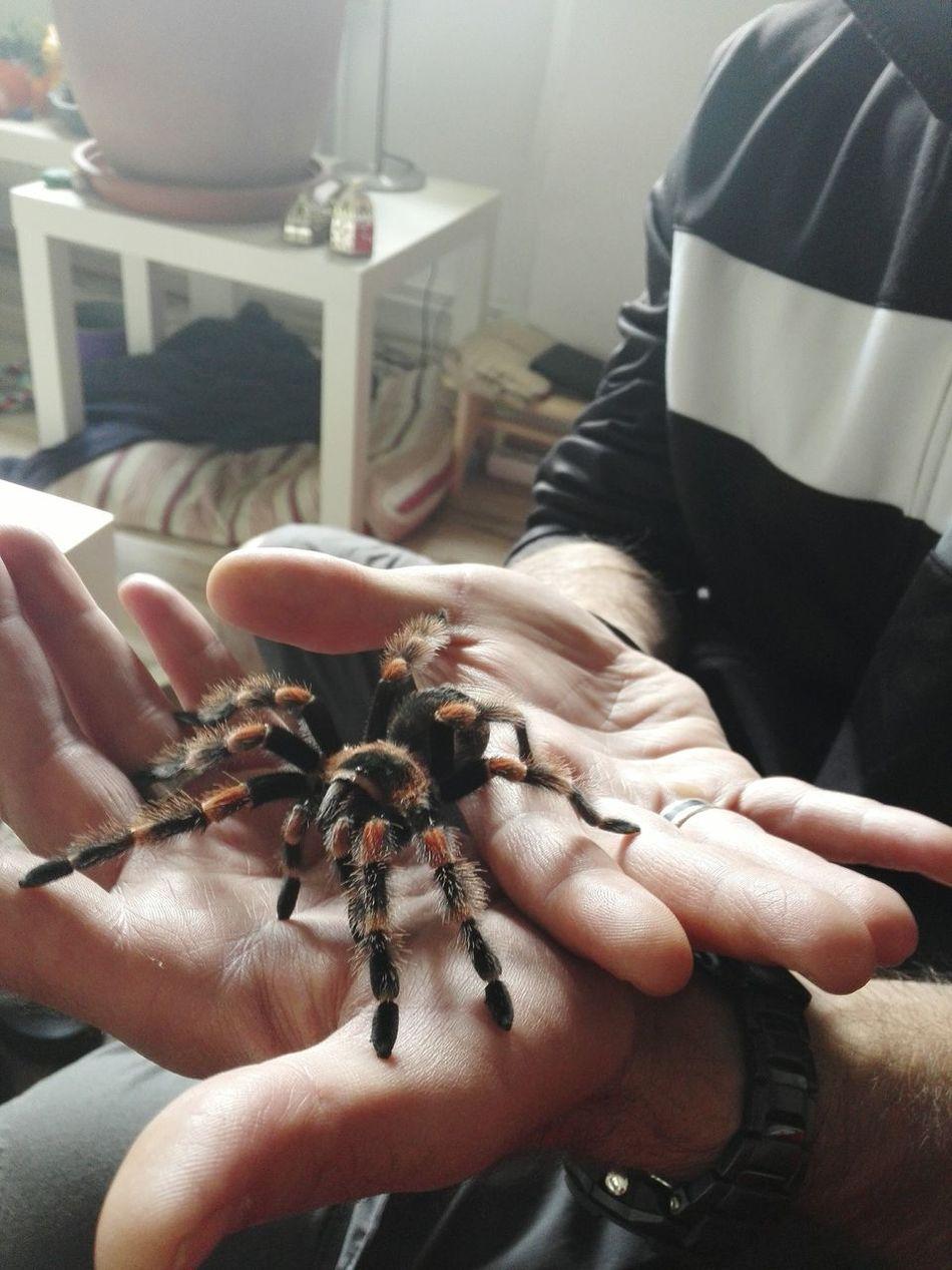 Spinne Marie - Brachypelma Smithi Vogelspinne Tarantula Brachypelma