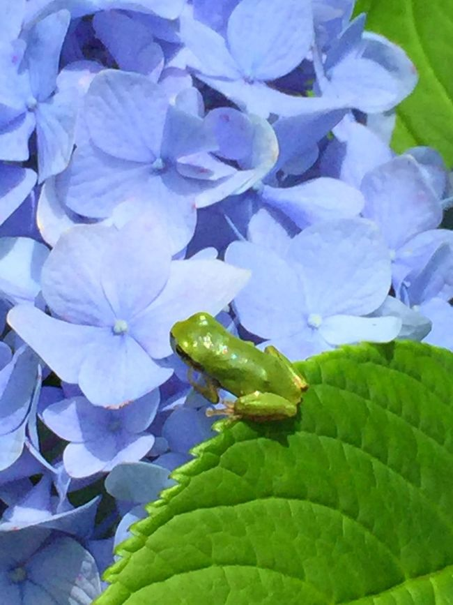 Found a leeetle frog!🐸 Frog Frogs Animals In The Wild Animal Animals Animal Themes Animal Photography Frog Love Green Nature Nature Photography Hydrangea Flowers Flowerporn Flowers,Plants & Garden Flower Collection Flowers, Nature And Beauty Flower Flower Photography Flower Porn Summer Summertime Showcase July