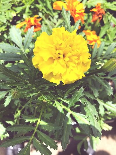 🌼 Flower Plant Freshness Yellow Beauty In Nature No People Homedepot FunInTheSun☀️ Nature Close-up Outdoors