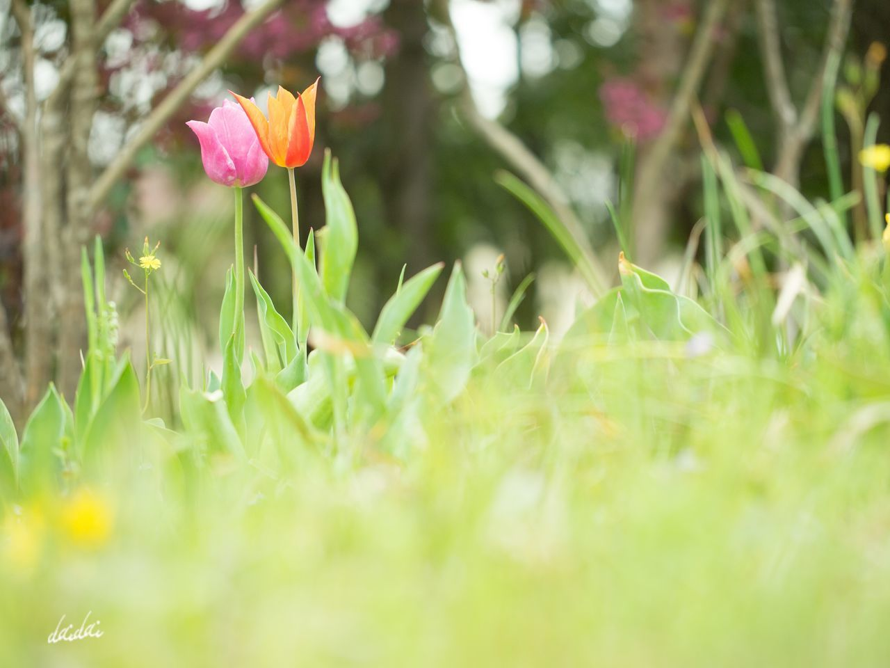 You and I in the daydream E-PL3 Fukuokadeeps Flower 花 RAW 編集 チューリップ Tulip 海の中道海浜公園 Bokeh