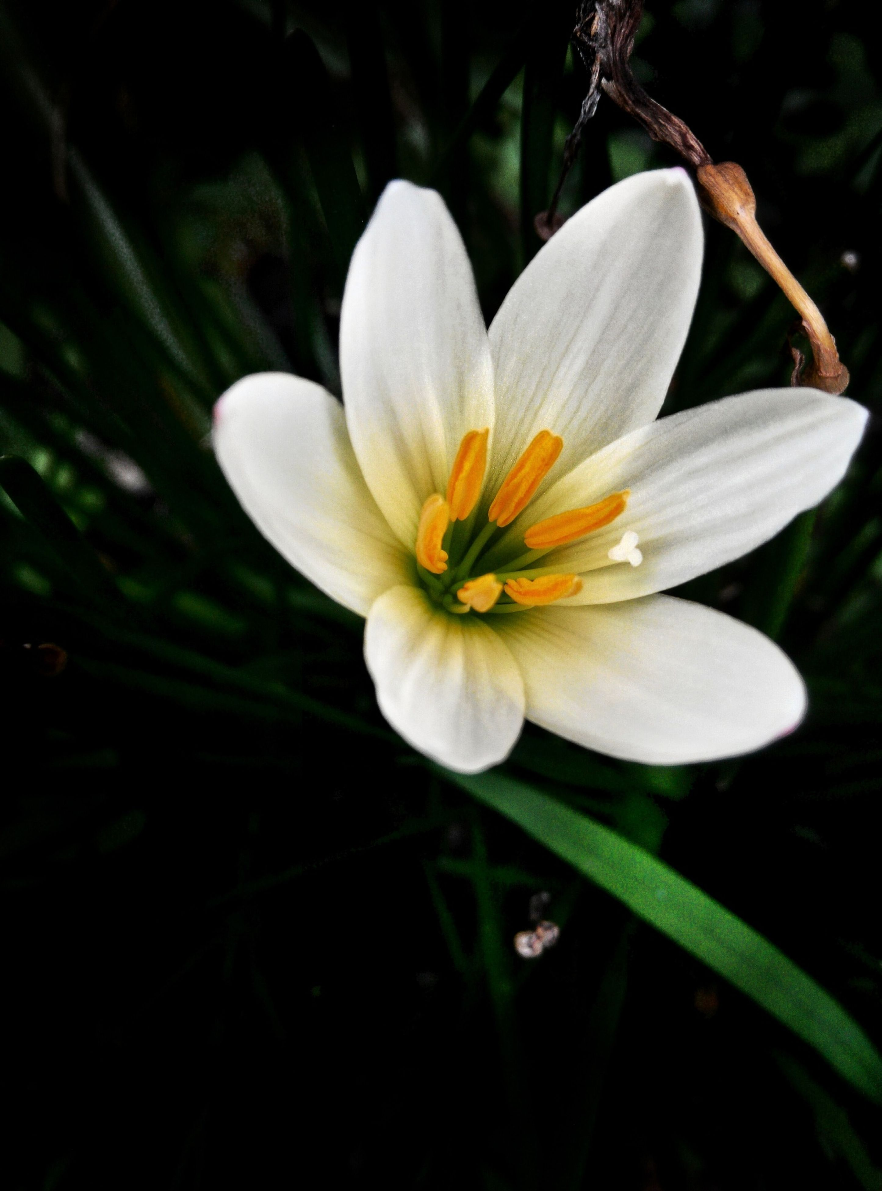 flower, petal, freshness, flower head, fragility, white color, growth, beauty in nature, single flower, close-up, pollen, stamen, nature, blooming, focus on foreground, in bloom, plant, white, yellow, blossom